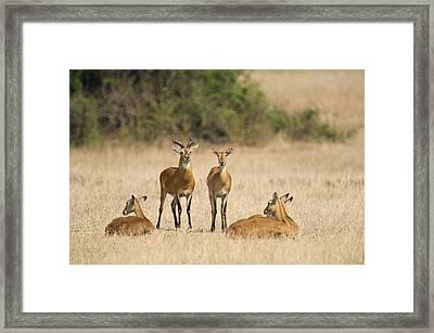 Ugandan Kobs Kobus Kob Thomasi Mating Framed Print by Panoramic Images