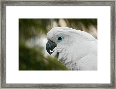 Umbrella Cockatoo Framed Print by Erin Tucker