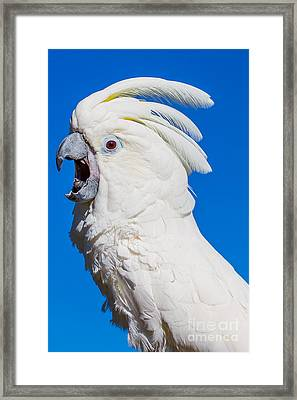 Umbrella Cockatoo Song Framed Print by Deanna Wright