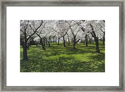 Under The Cherry Blossoms - Washington Dc. Framed Print by Mike McGlothlen