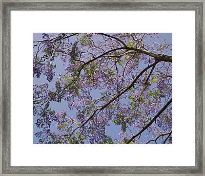 Under The Jacaranda Tree Framed Print by Rona Black