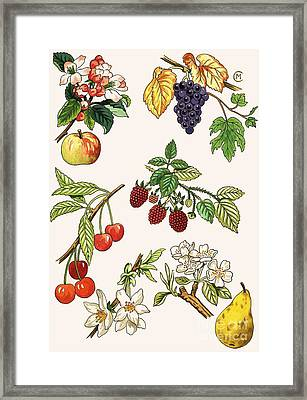 Unidentified Montage Of Fruit Framed Print by English School