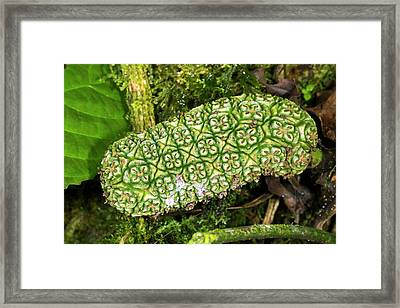 Unripe Anthurium Fruit Framed Print by Dr Morley Read