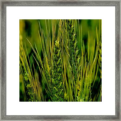 Unripened Wheat In The Palouse Framed Print by David Patterson