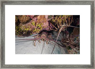 Up And Down Lobster Framed Print by Jean Noren