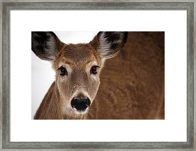 Up Close Doe Framed Print by Karol Livote