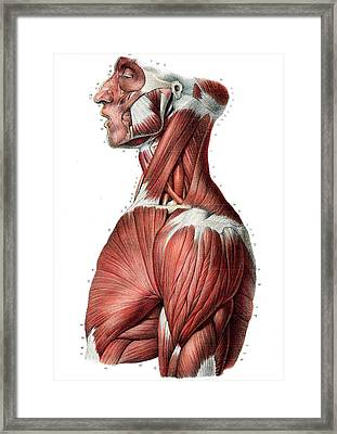 Upper Body Muscles Framed Print by Collection Abecasis