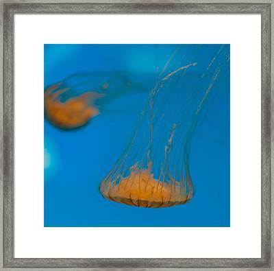 Upside Down Sea Nettle Framed Print by Scott Campbell