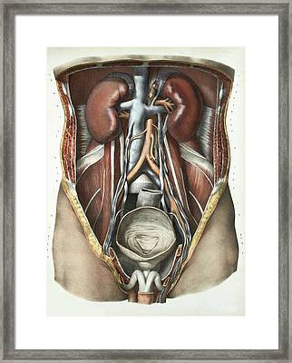 Urinary System Framed Print by Science Photo Library