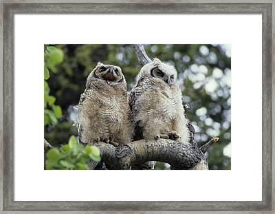 Usa, Alaska, Juvenile Great Horned Owl Framed Print by Gerry Reynolds