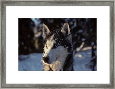 Usa, Alaska, Sled Dogs, Dog Sledding Framed Print by Gerry Reynolds