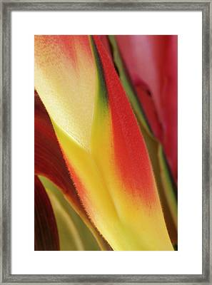 Usa, Colorado, Lafayette, Heliconia Framed Print by Jaynes Gallery