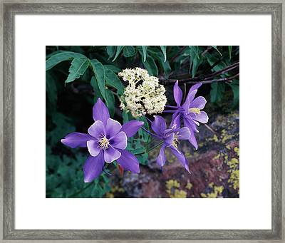 Usa, Colorado, Mutant Columbine Framed Print by Jaynes Gallery