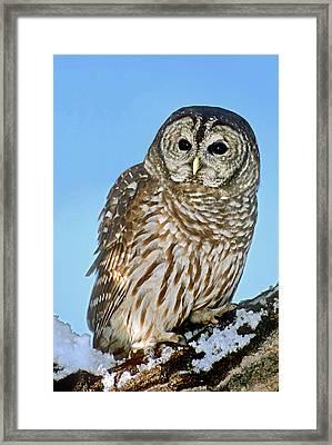 Usa, Colorado Portrait Of Barred Owl Framed Print by Jaynes Gallery