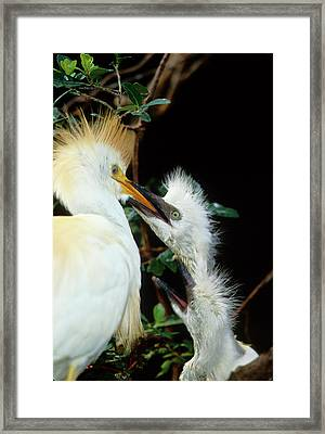 Usa, Florida Cattle Egret Feeds One Framed Print by Jaynes Gallery