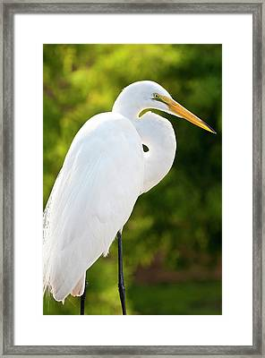 Usa, Florida Great Egret (ardea Alba Framed Print by Michael Defreitas