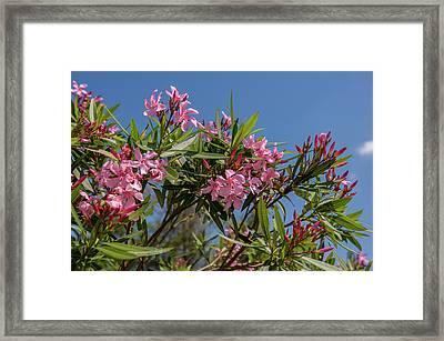 Usa, Florida, New Smyrna Beach, Oleander Framed Print by Lisa S. Engelbrecht