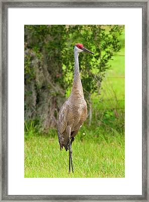 Usa, Florida Sandhill Crane (grus Framed Print by Michael Defreitas