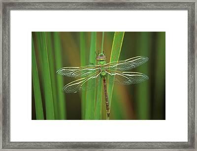 Usa, Georgia Green Darner Dragonfly Framed Print by Jaynes Gallery