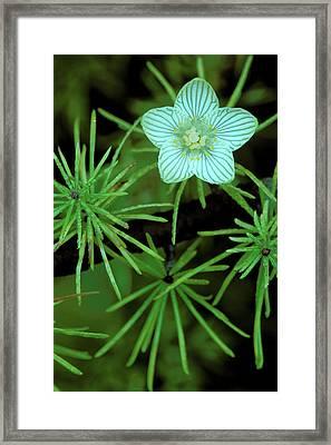 Usa, Michigan, Grass Of Parnassus Framed Print by Jaynes Gallery