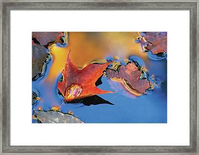 Usa, Northeast, Maple Leaf Framed Print by Jaynes Gallery