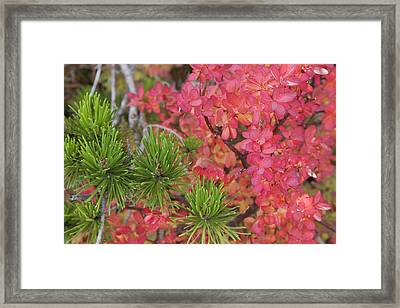 Usa, Oregon Close-up Of Huckleberry Framed Print by Jaynes Gallery