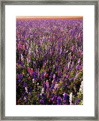 Usa, Oregon, Delphinium Field Framed Print by Stuart Westmorland
