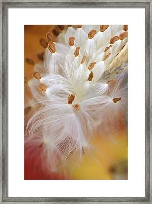 Usa, Pennsylvania, Milkweed Opening Framed Print by Jaynes Gallery