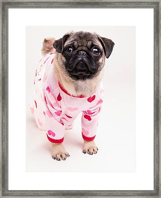 Valentine's Day - Adorable Pug Puppy In Pajamas Framed Print by Edward Fielding