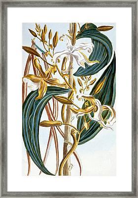 Vanilla Pods Framed Print by Pierre-Joseph Buchoz