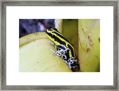 Variable Poison Frog Framed Print by Dr Morley Read
