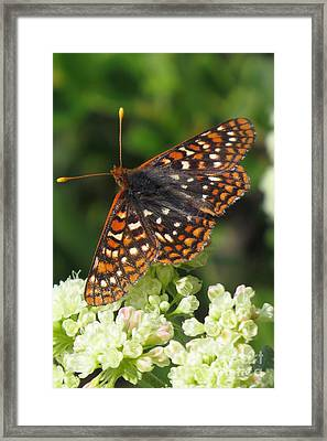 Varied Checkerspot Framed Print by Frank Townsley