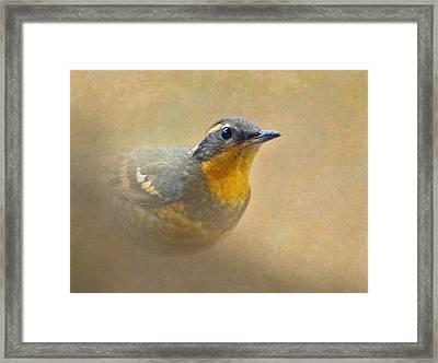 Varied Thrush Framed Print by Angie Vogel