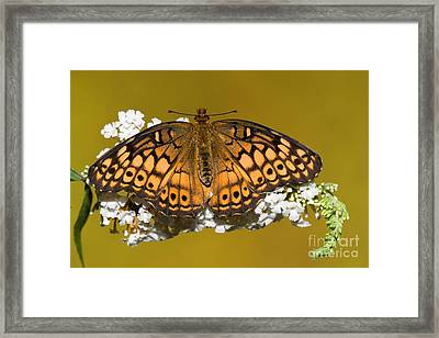 Variegated Fritillary Butterfly Framed Print by Millard H. Sharp