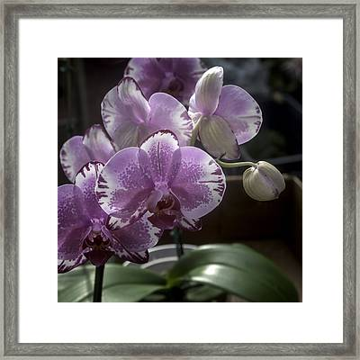 Variegated Fuscia And White Orchid Framed Print by Lynn Palmer