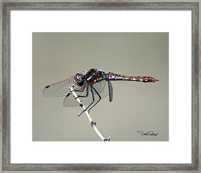 Variegated Meadowhawk Framed Print by David Salter