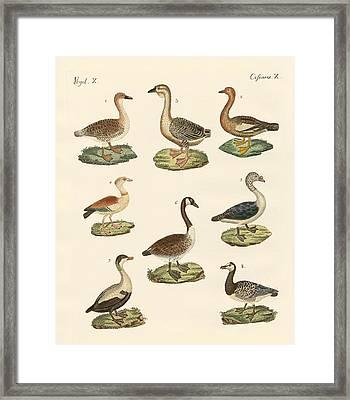 Various Kinds Of Geese Framed Print by Splendid Art Prints