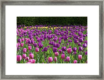 Various Tulip Flowers In A Garden Framed Print by Panoramic Images