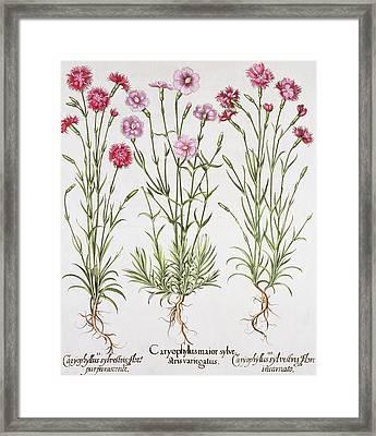 Various Varieties Of Dianthus Framed Print by German School