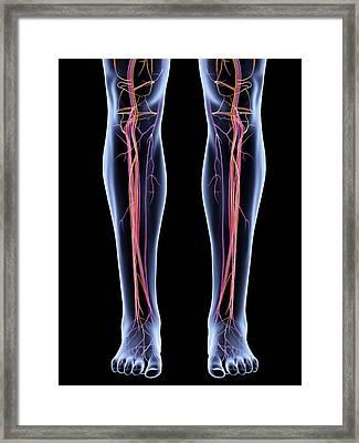Vascular System Of The Legs Framed Print by Alfred Pasieka