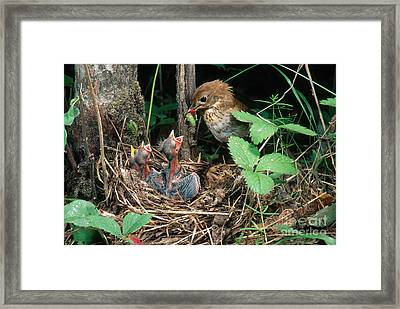 Veery At Nest Framed Print by Anthony Mercieca
