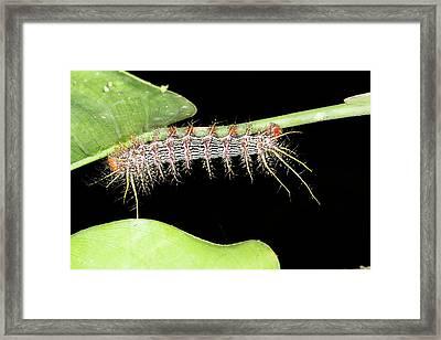 Venomous Saturniid Moth Caterpillar Framed Print by Dr Morley Read
