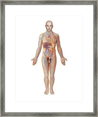 Venous System Framed Print by Asklepios Medical Atlas