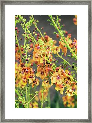 Verbascum 'clementine' Flowers Framed Print by Adrian Thomas