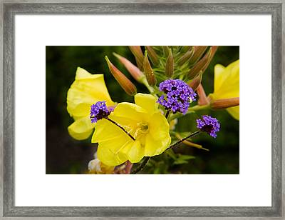 Verbena Bonariensis And Evening Framed Print by Panoramic Images