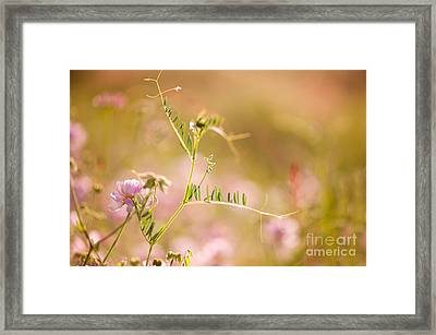 tendrils of Vicia or Vetch and pink Clover  Framed Print by Arletta Cwalina
