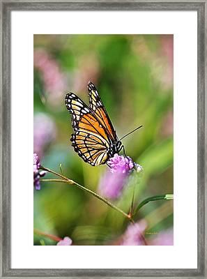 Viceroy Butterfly Framed Print by Christina Rollo