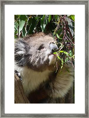 Victorian Koala Snacktime Framed Print by Margaret Saheed