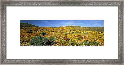 View Of Blossoms In A Poppy Reserve Framed Print by Panoramic Images