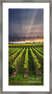 Vineyard At Sunset Framed Print by Elena Elisseeva
